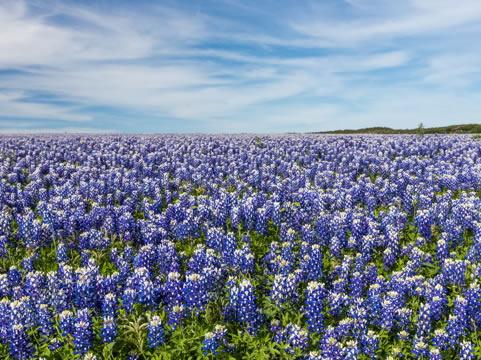 an open field of bluebonnets