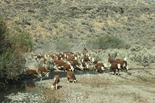 cowboys herding cattle alongside a watering hole