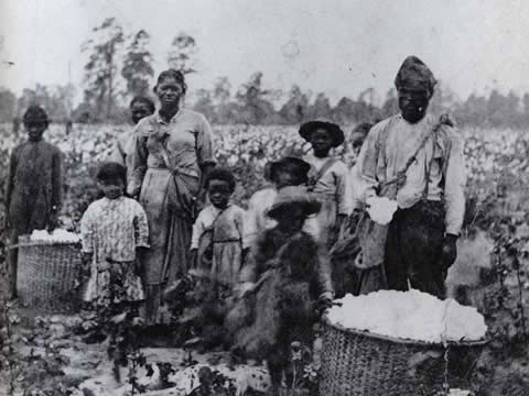 old photograph of a family of slaves working in the cotton fields